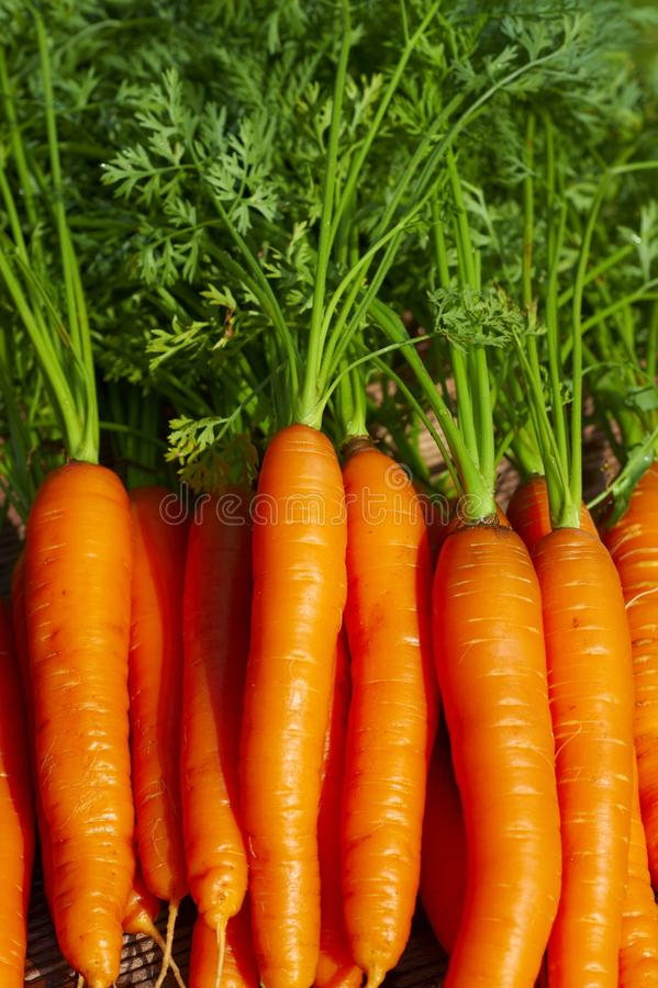 Bundle of fresh carrots royalty free stock photo