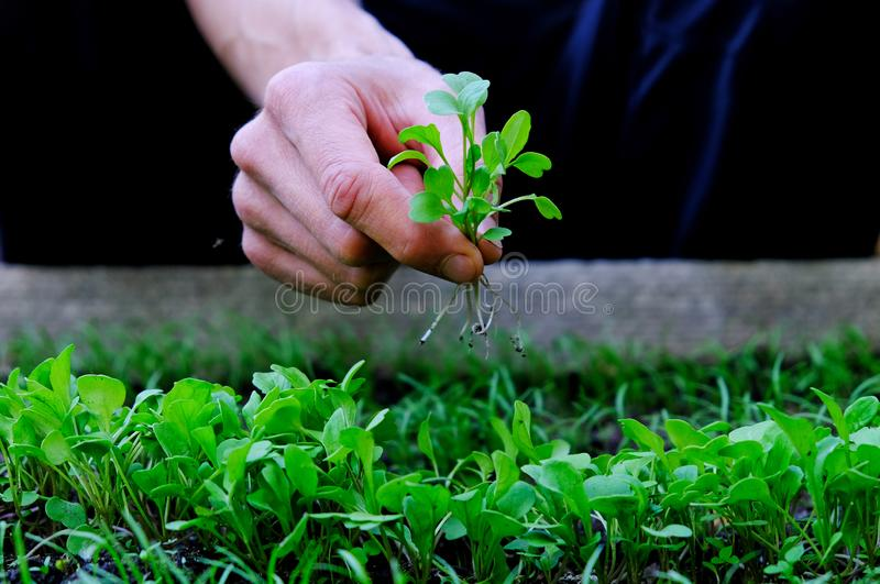 Bundle of freshly picked micro-greens in a man`s hand. Farmer inspect rocket salad sprouts in garden. Healthy organic food concep. T stock images