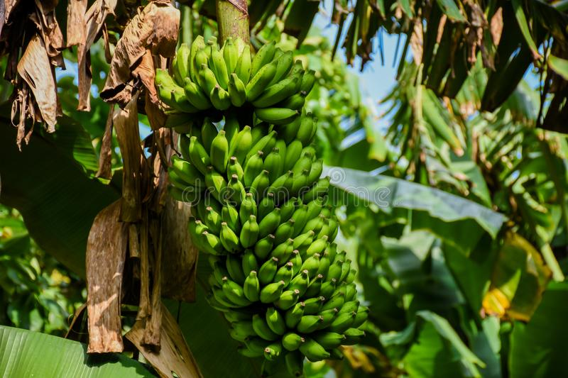 Bundle of green bananas growing on the tree at the tropical forest stock photography