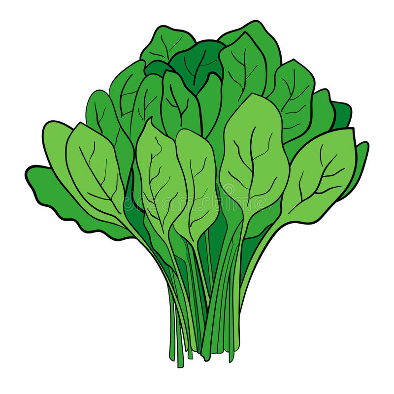 A Bundle Of Spinach vector illustration