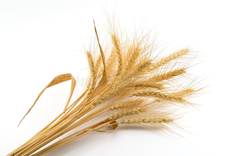 Bundle of Wheat. Isolated on white royalty free stock images