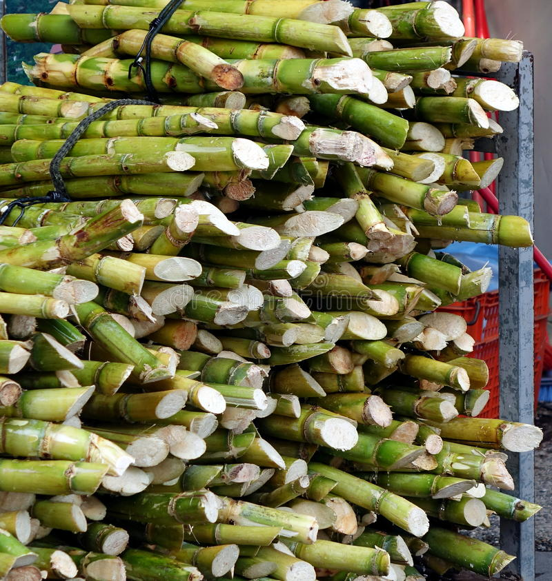 Bundles of Fresh Sugar Cane royalty free stock photography