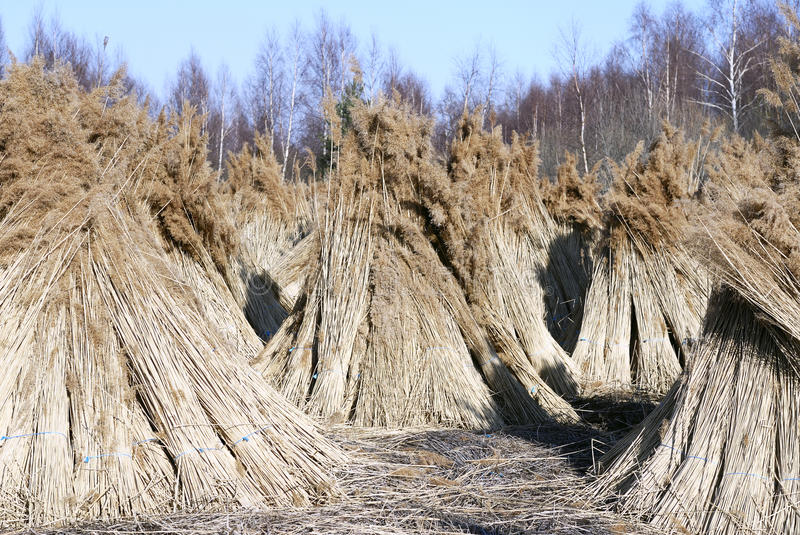 Bundles of Roof Thatching Grass. stock photo