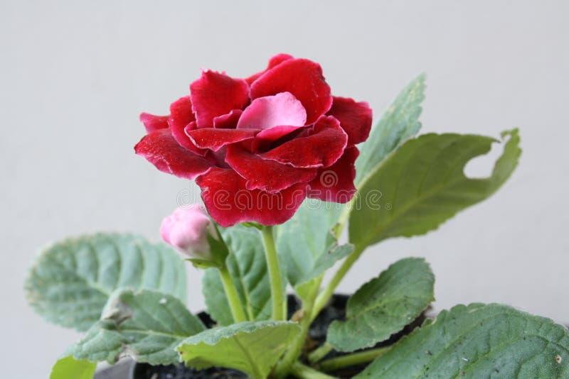 Bunga非洲紫罗兰merah 图库摄影
