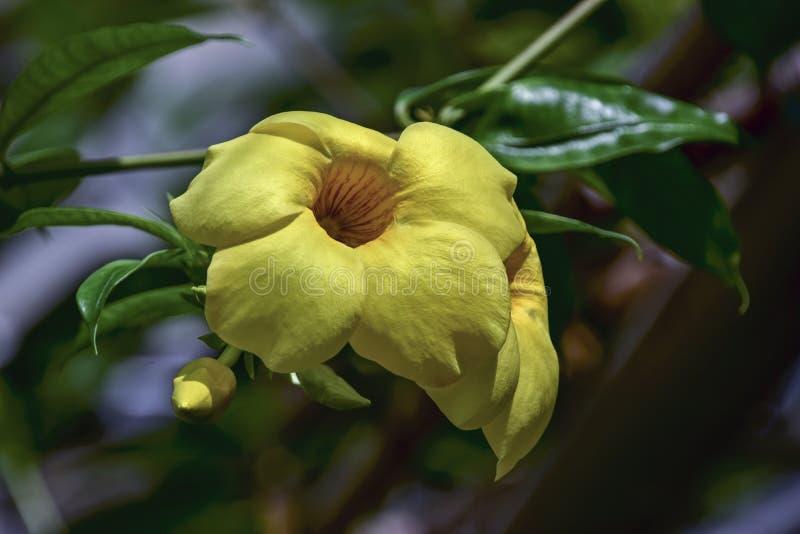 Bunga Alamanda стоковая фотография rf