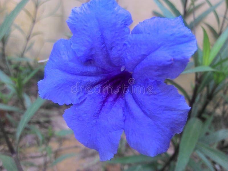 Bunga Biru royalty-vrije stock afbeeldingen