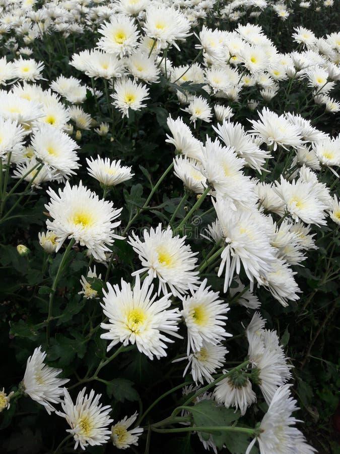 Bunga di Kebun immagini stock libere da diritti