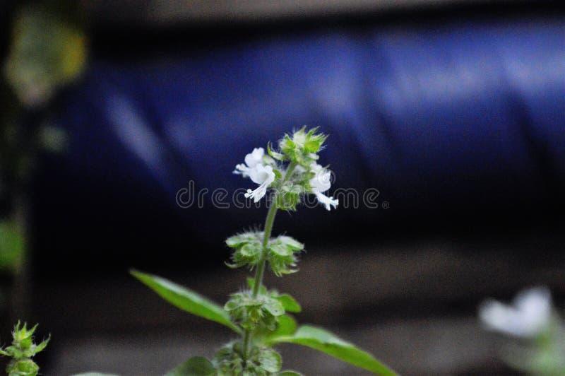 Bunga Kemangi stock foto's