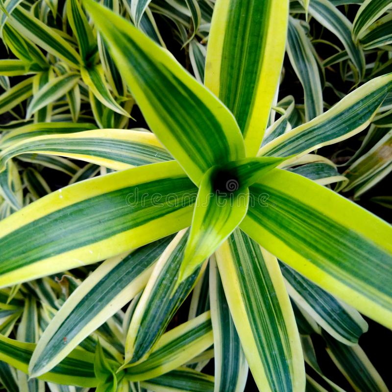 Bunga lili paris or spider plant, has green leaf with yellow stripes in the edge. Bunga lili paris or spider plant,  green leaf with yellow stripes in the edge royalty free stock photography
