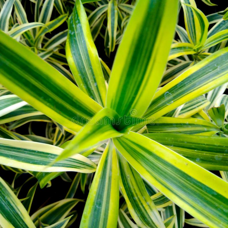 Bunga lili paris or spider plant, has green leaf with yellow stripes in the edge. Bunga lili paris or spider plant,  green leaf with yellow stripes in the edge stock photos