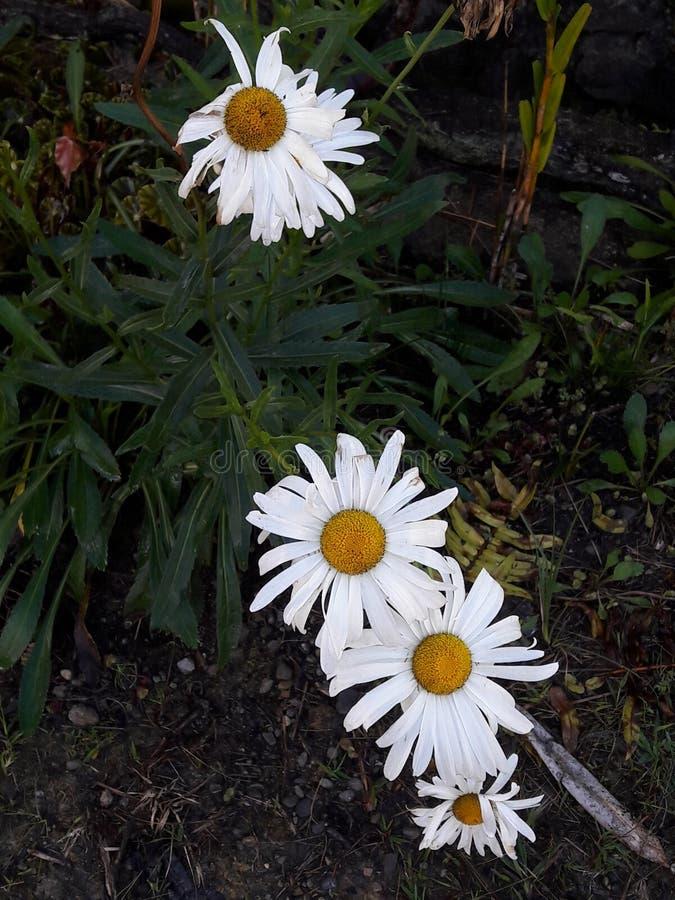 Bunga matahari alam papua city stock image