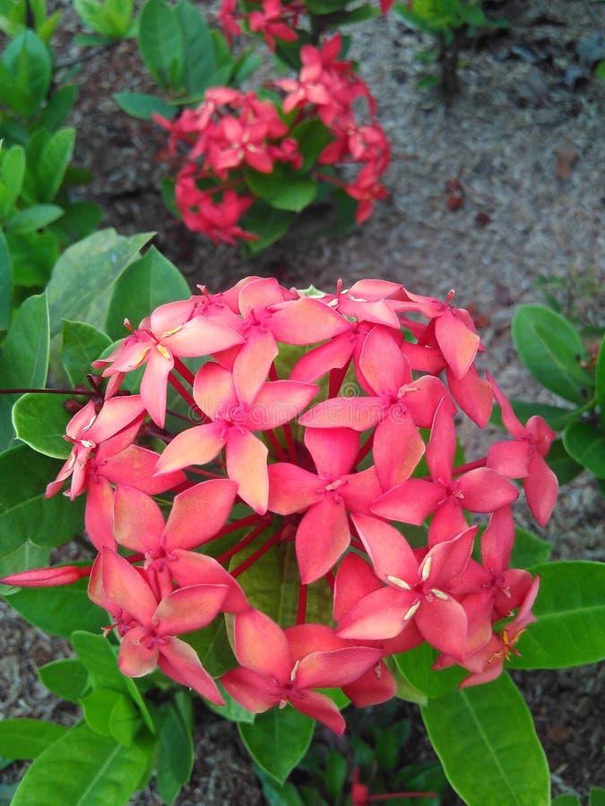 Bunga-merah lizenzfreie stockfotografie
