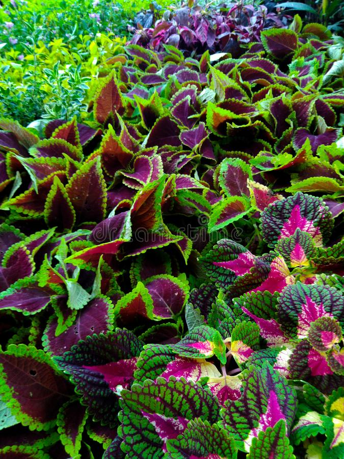 Bunga miana, or coleus flower is a plant which has colorful leaf, consist of green, yellow, pink and red. Bunga miana, or coleus flower is a plant   colorful stock photos
