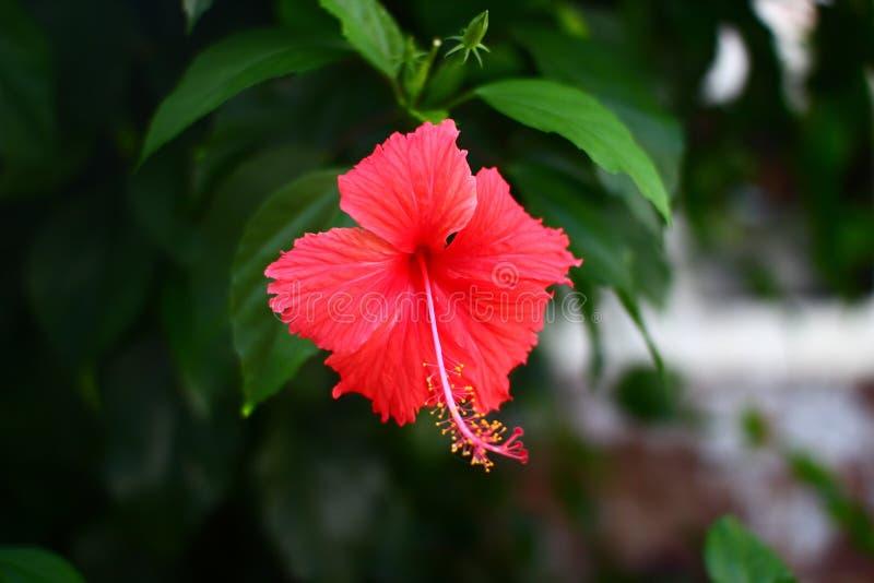 Bunga Raya, национальный цветок Малайзии стоковая фотография rf