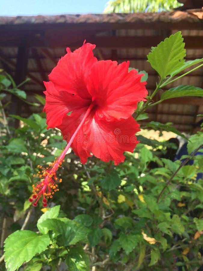 Bunga Raya fotografía de archivo
