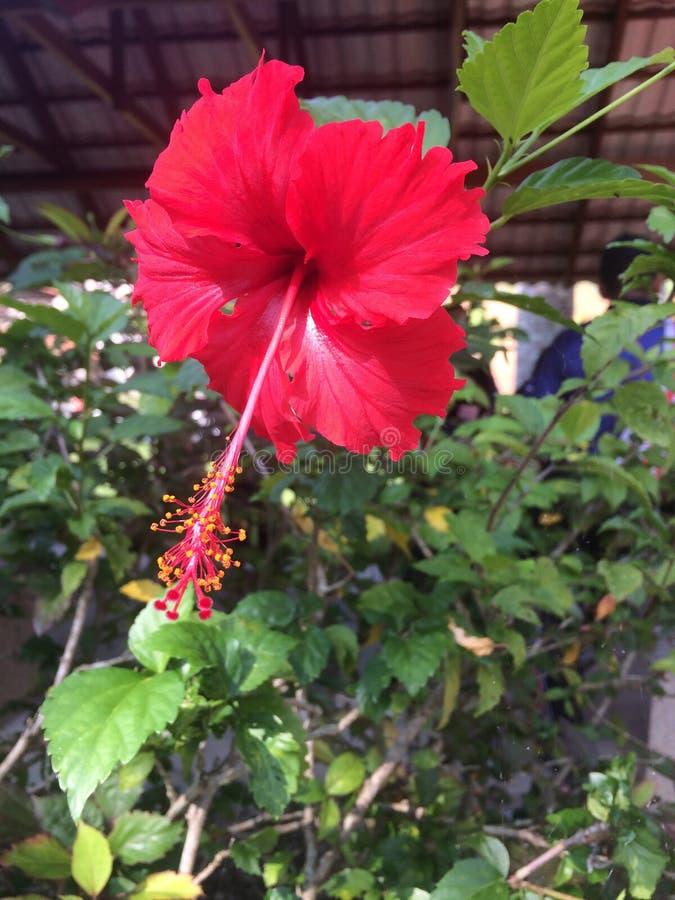 Bunga Raya imagen de archivo libre de regalías