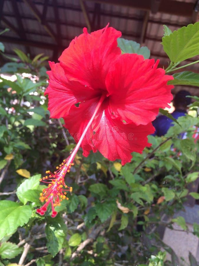 Bunga Raya fotografía de archivo libre de regalías