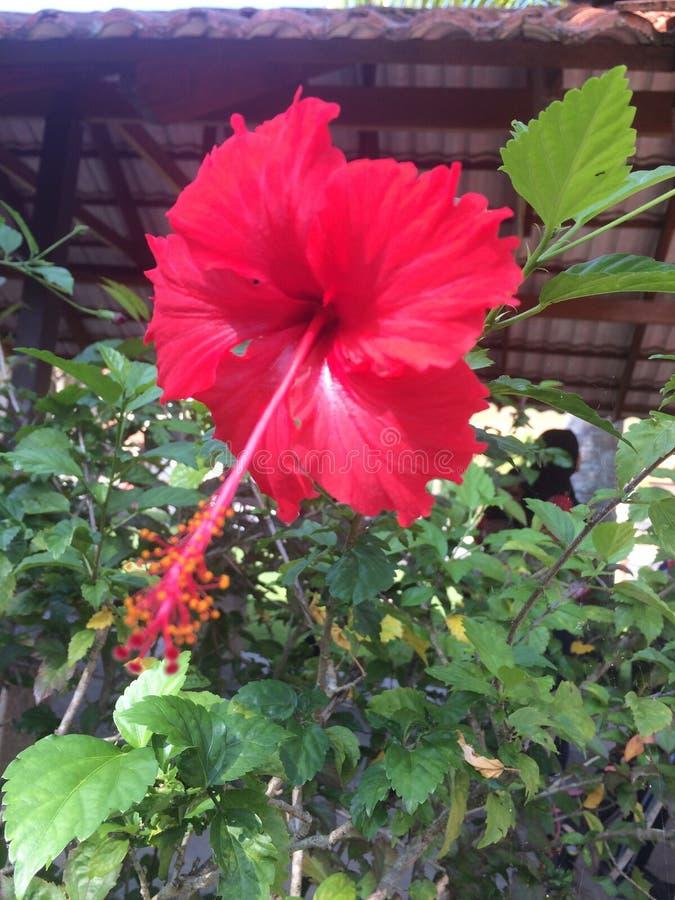 Bunga Raya foto de archivo