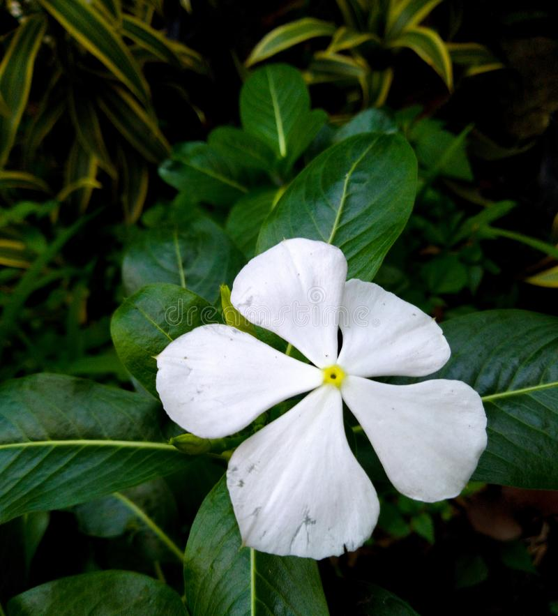Bunga tapak dara or vinca flower, with white petal and a little bit yellow color in the middle. Bunga   or vinca flower, with white petal and a   yellow color in stock image