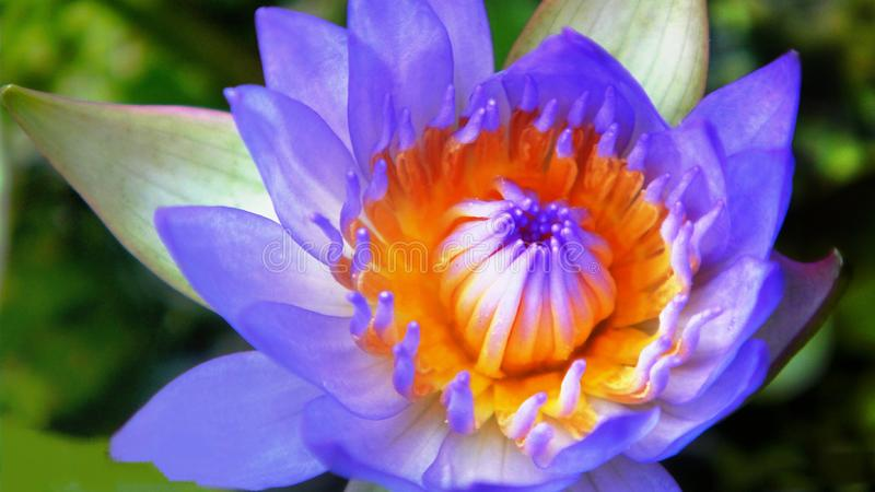 Bunga teratai. Teratai flower in the garden stock images