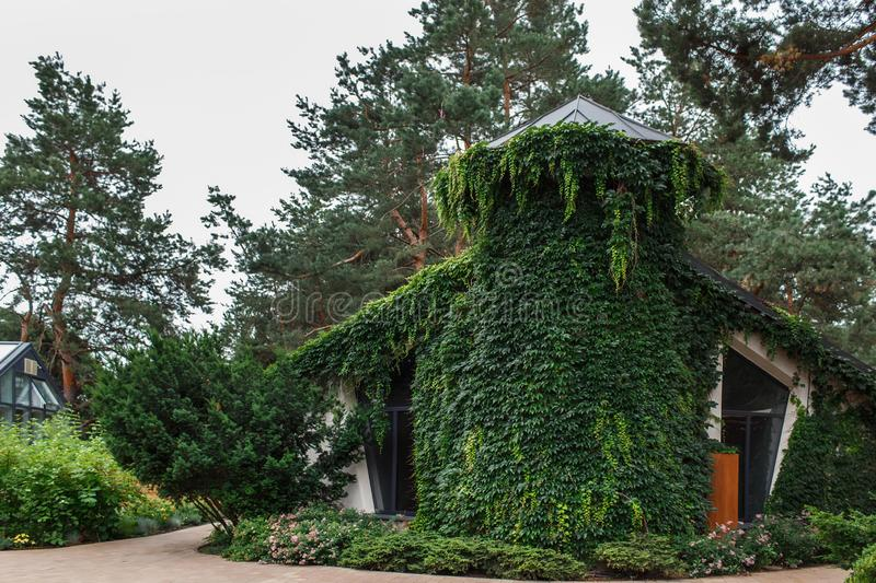 Bungalow, covered with green ivy in the courtyard of the hotel complex. Near the bungalow in a bed planted roses, pines grow on the background stock photography