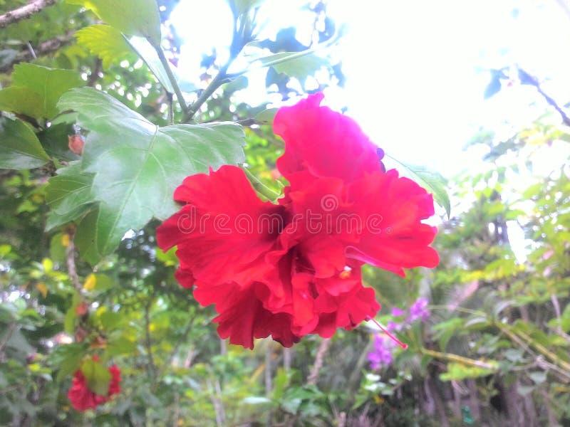Bungong Mirah royalty-vrije stock foto