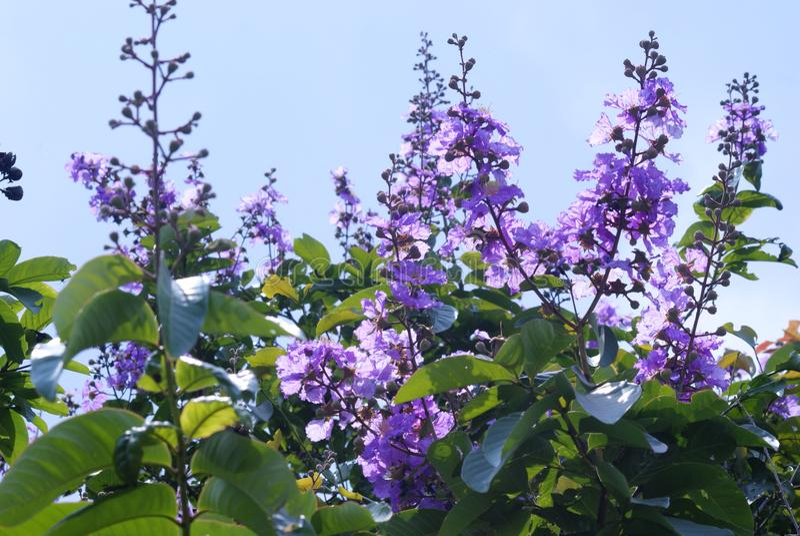 Bungur & x28; indonesia& x29; ou Magnoliopsida do Lythraceae fotografia de stock royalty free
