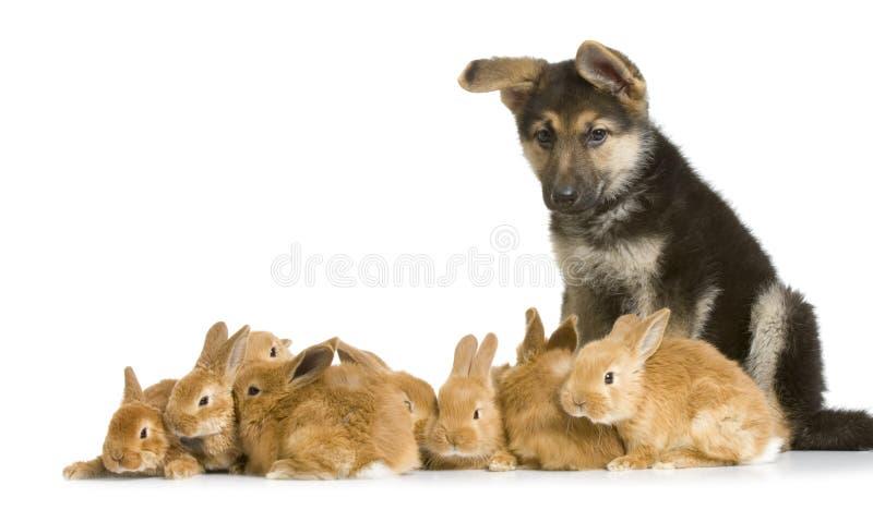 Bunnies and german shepherd. German shepherd puppy garding group of bunnies in front of a white background stock photos