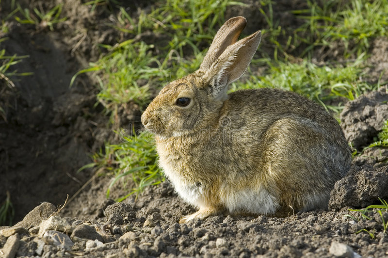Bunny συνεδρίαση και αναμονή κουνελιών στοκ εικόνες με δικαίωμα ελεύθερης χρήσης