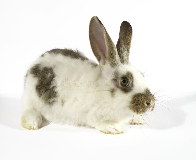 Bunny 01 stock image