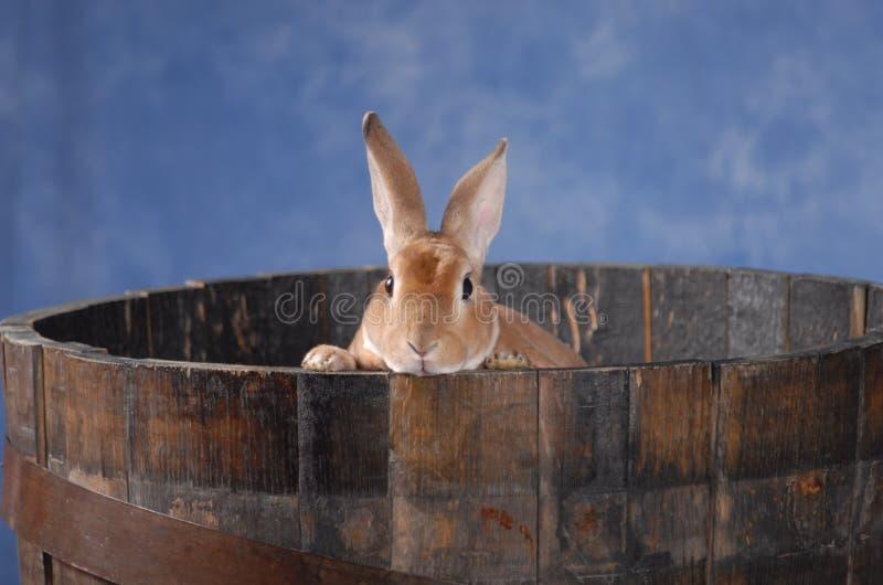 Bunny in barrel royalty free stock photo