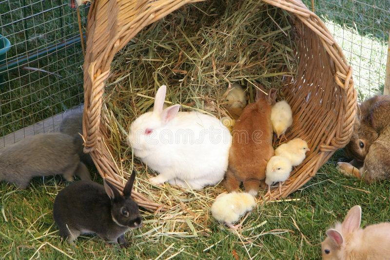 Bunny and chick royalty free stock images