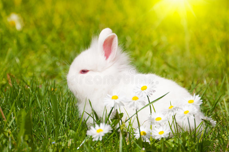 Download Bunny with daisies stock image. Image of pretty, furry - 24545179