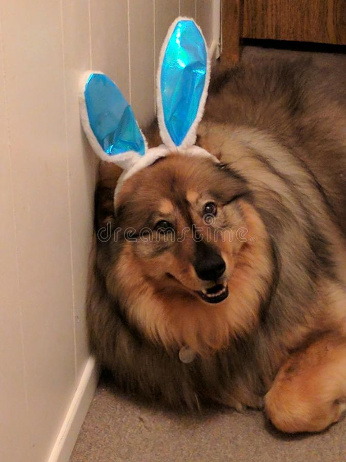 Bunny dog Easter. Fluffy pup chowhusky royalty free stock images