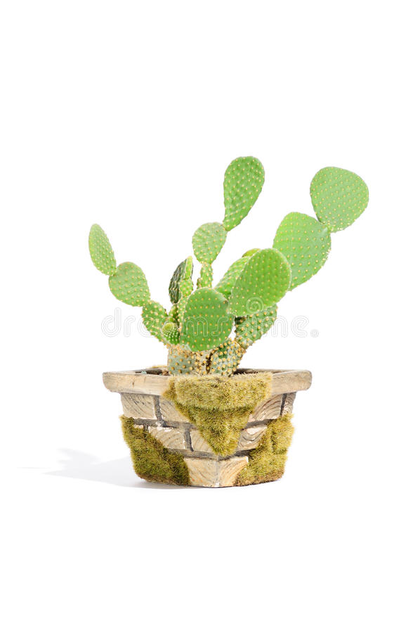Free Bunny Ears Cactus (Opuntia Microdasys) In Pot Royalty Free Stock Images - 19727799