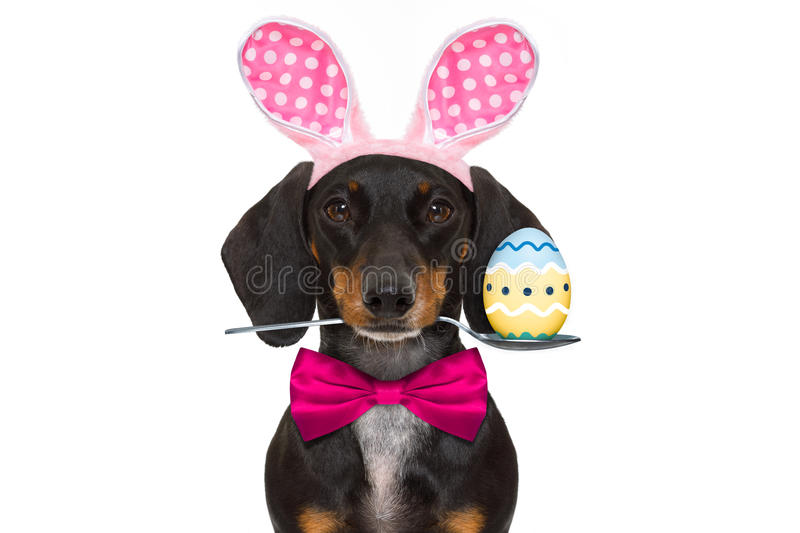 Bunny easter ears dog royalty free stock images