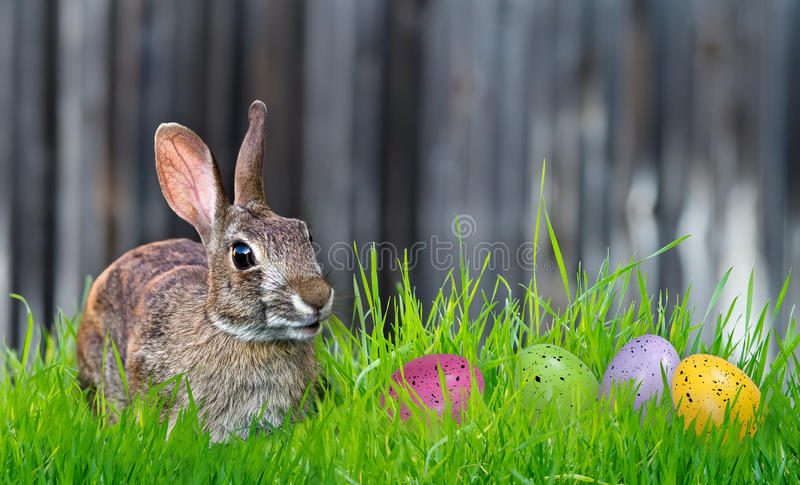 Bunny and Easter eggs. Cheerful looking Bunny and colorful Easter eggs in the grass. Copy space stock image