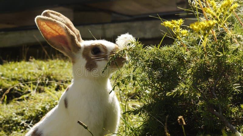 Bunny eating royalty free stock photo
