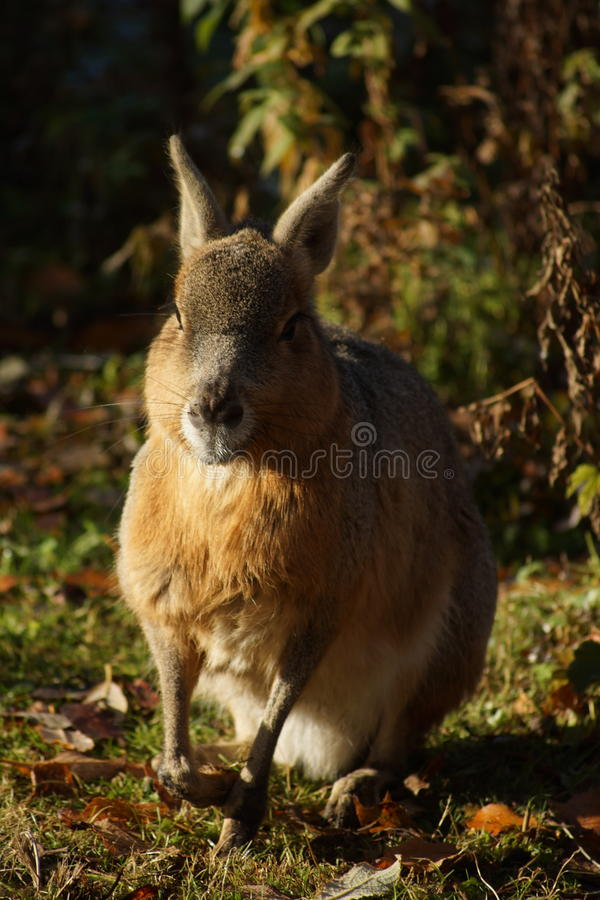 Bunny on the field. A close-up of a rabbit on a field royalty free stock photos