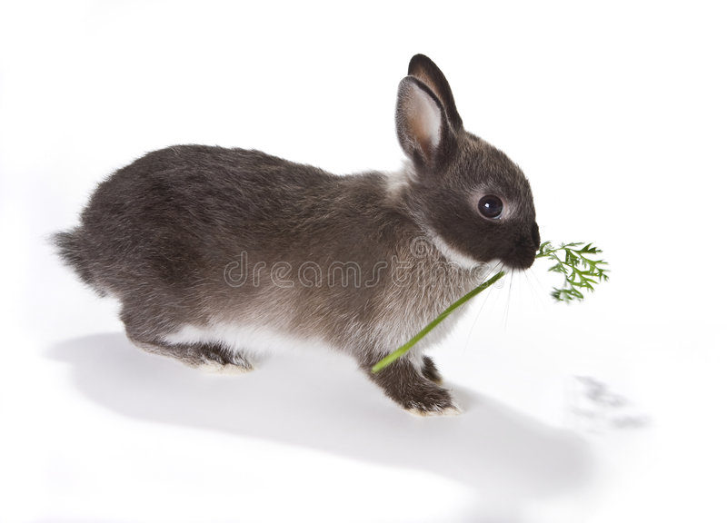 Bunny with food. Little gray easter bunny carrying its food royalty free stock images