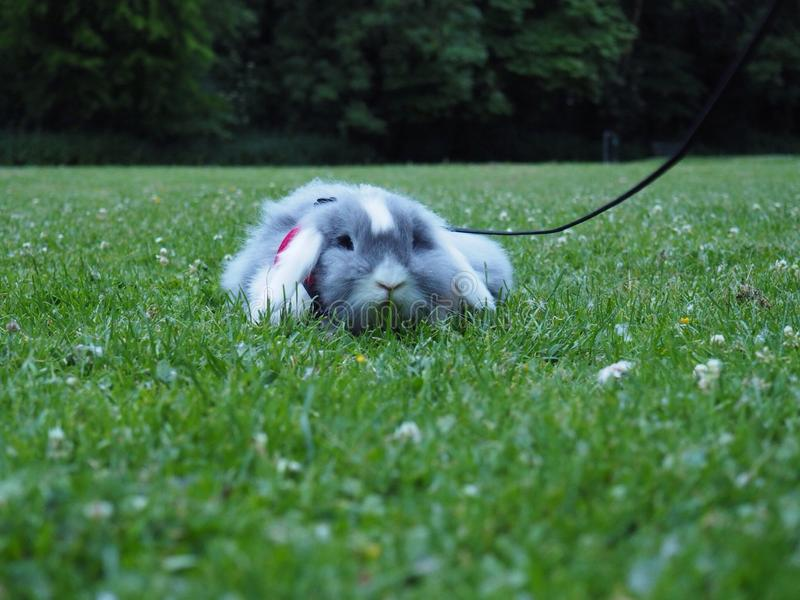 Bunny going for the walk stock images