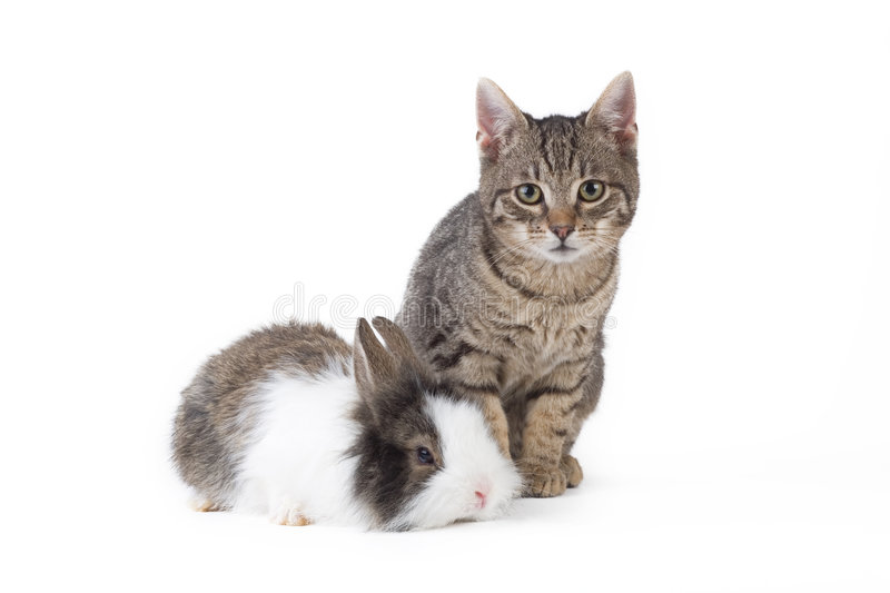 Download Bunny and kitten, isolated stock photo. Image of gray - 8322922
