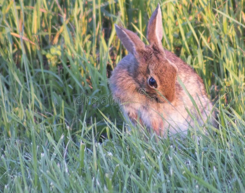 Bunny Licking Fur mullido imagen de archivo libre de regalías