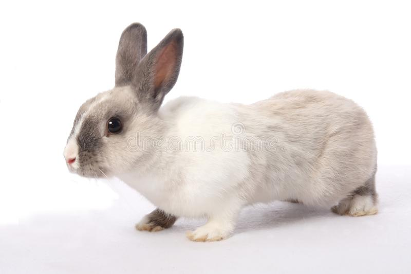 Bunny Rabbit. Cute gray and white bunny rabbit royalty free stock photo