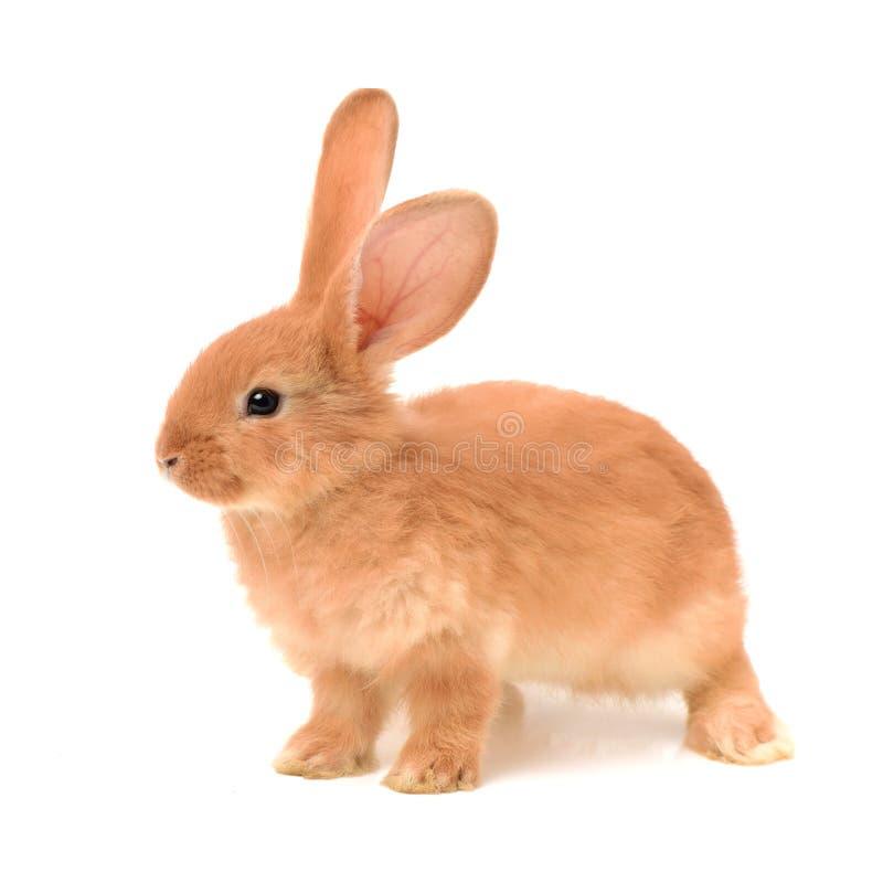 Bunny Rabbit royaltyfri fotografi
