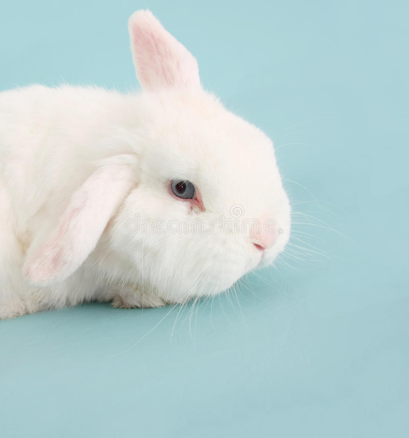 Bunny rabbit. White Easter bunny rabbit on blue royalty free stock photography