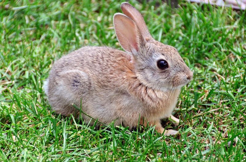 Bunny Rabbit. A small bunny rabbit sitting in the grass royalty free stock photography