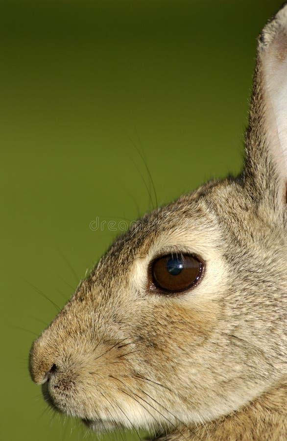 Bunny Rabbit. Close-up profile of a wild bunny rabbit royalty free stock image