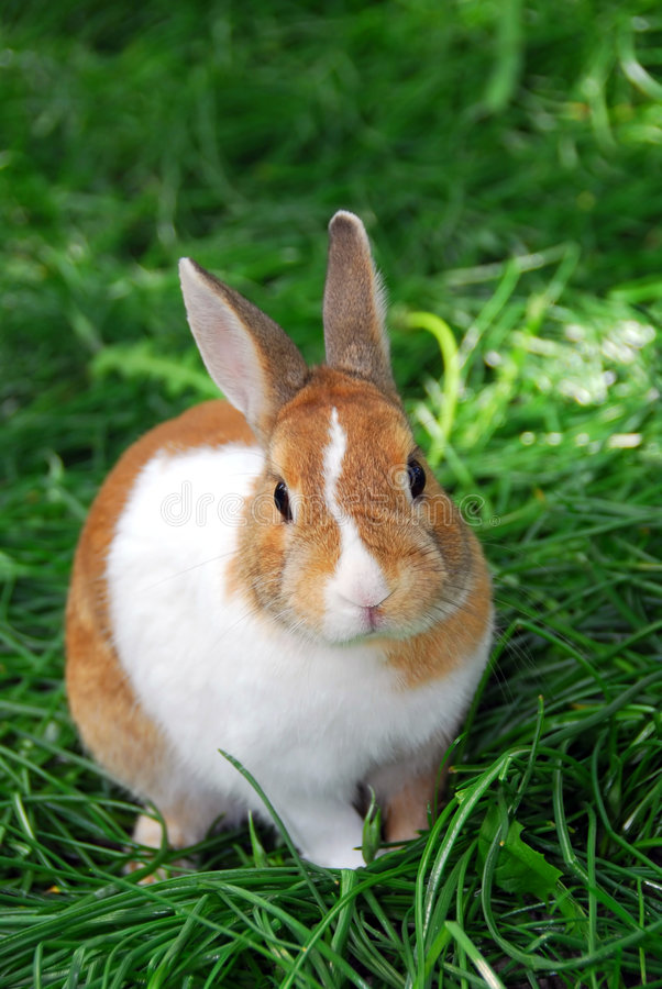 Bunny rabbit. Cute bunny rabbit sitting outside in green grass royalty free stock image