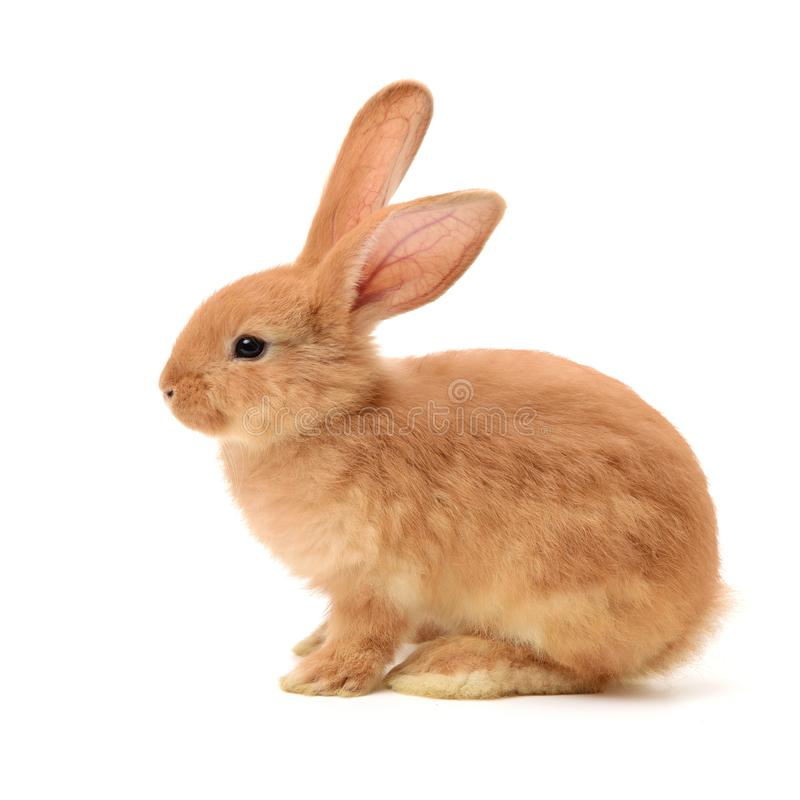 Bunny rabbit royalty free stock image